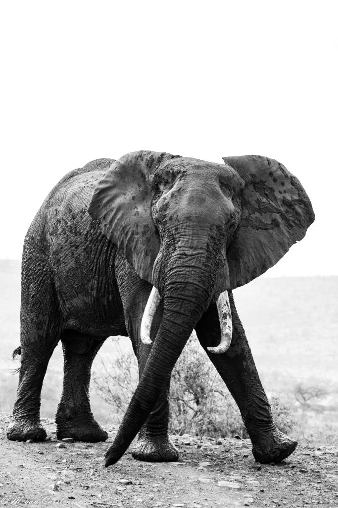 Conjour - Wildlife Photography - Megan Carstens - Conservation Photography - Aggressive Elephant
