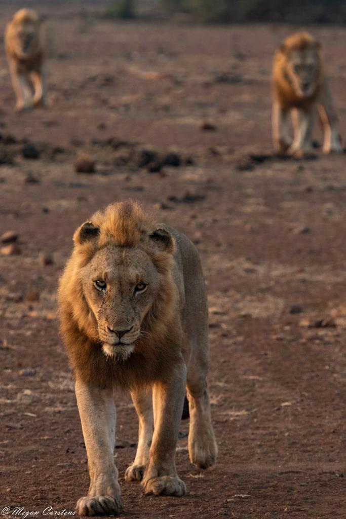 Conjour - Wildlife Photography - Megan Carstens - Conservation Photography - Male Lions