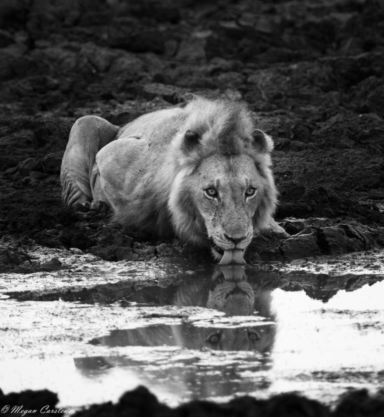 Conjour - Wildlife Photography - Megan Carstens - Conservation Photography - Lion Drinking