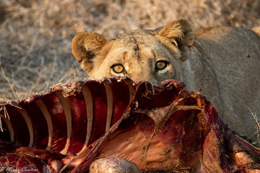 Conjour - Wildlife Photography - Megan Carstens - Conservation Photography - Lioness Eating