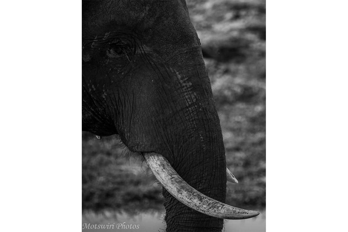 Conjour Wildlife Photography - Motswiri Photography - Elephant