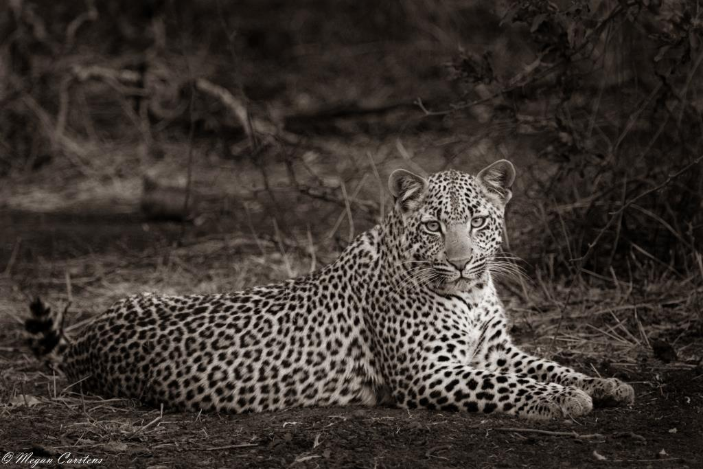 Conjour - Wildlife Photography - Megan Carstens - Conservation Photography - Female leopard