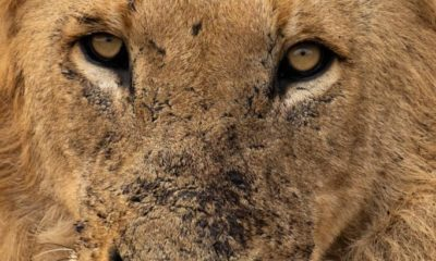 Conjour - Wildlife Photography - Megan Carstens - Conservation Photography - Lion