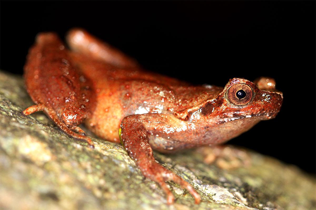 Conjour - New frog species - Mount Fansipan horned frog