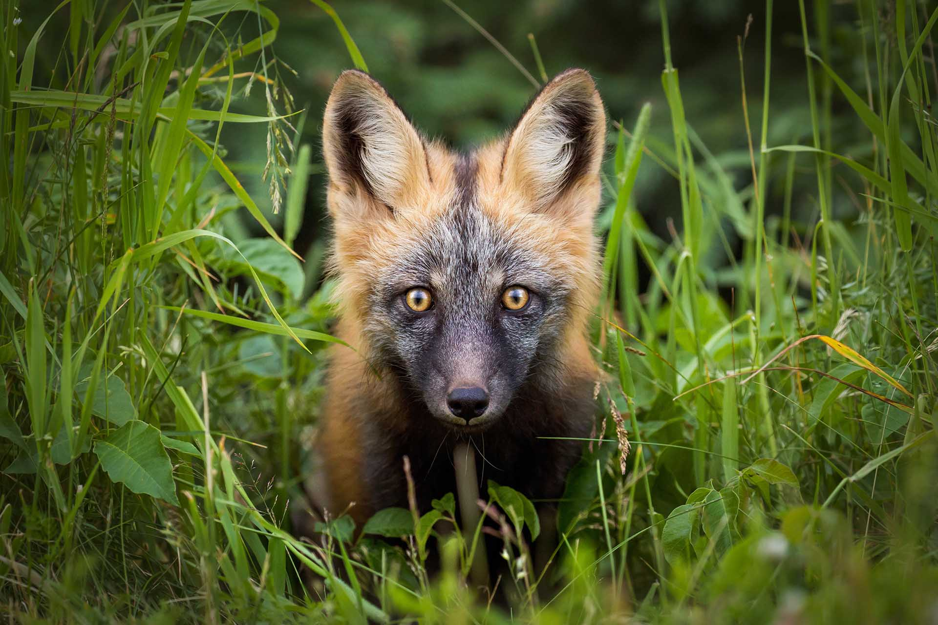 Cross Fox - vulpes vulpes - Brittany Crossman - Vulpes Vulpes - The Red Fox - Conjour Wildlife Photography Feature - 1