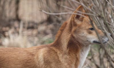 Culling Predators May Cause More Livestock Death - Conjour Conservation Editorial - Feature Image - Dingo