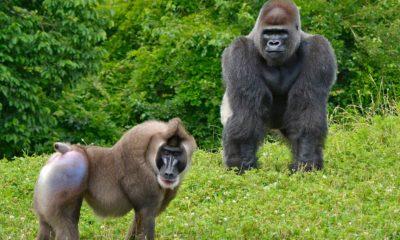 Detroit Zoo CZAW - Conjour Zoology Report - Conjour - Drill Gorilla
