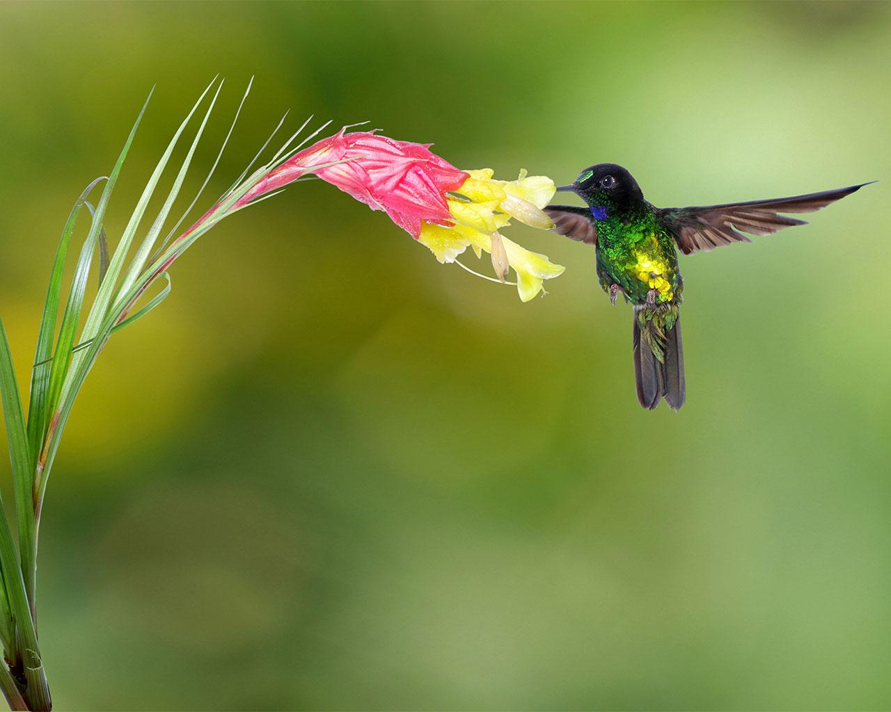Dusky starfronlet hummingbird - half earth study - conjour