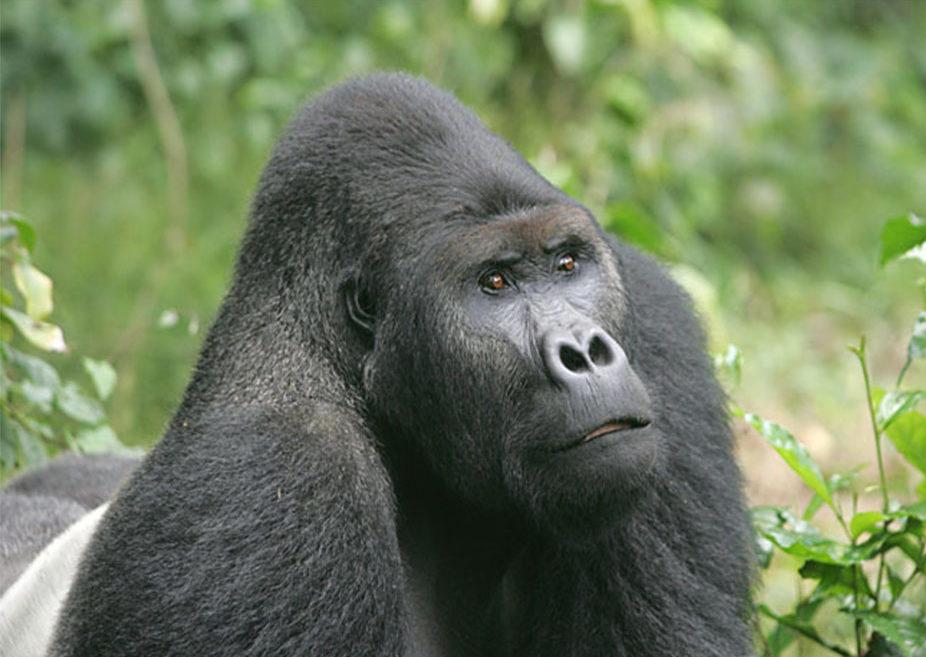 Eastern Lowland Gorilla - Grauers Gorilla - Conjour Species Conservation Report