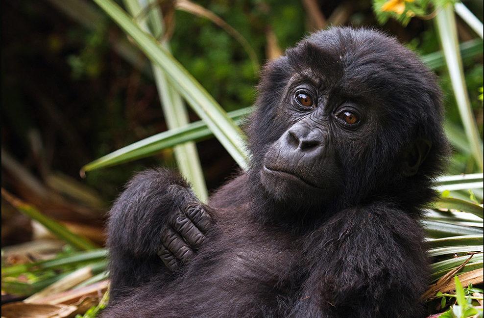 Eastern Lowland Gorilla Baby Monkey - Grauers Gorilla - Conjour Species Conservation Report