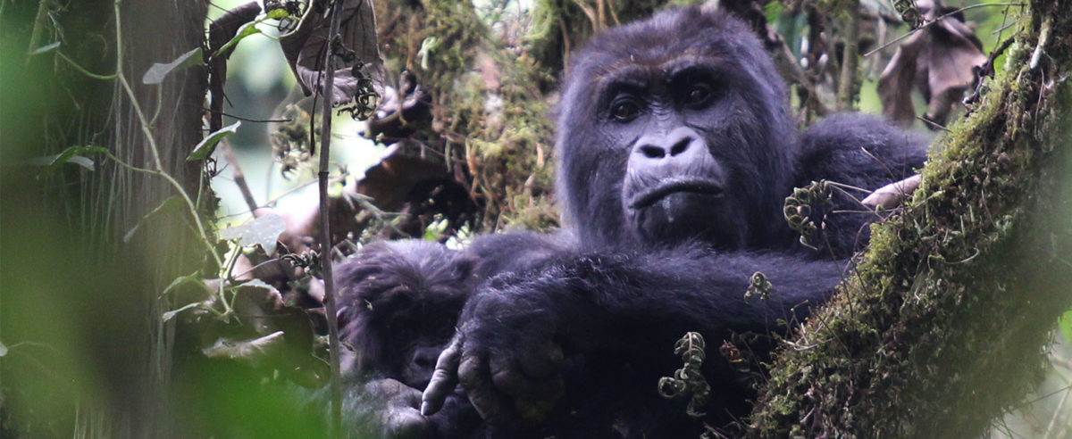 Eastern Lowland Gorilla - Grauers Gorilla - Conjour Conservation Report - Feature