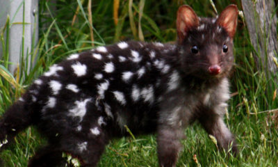 eastern quoll conservation announcement Conjour in situ work