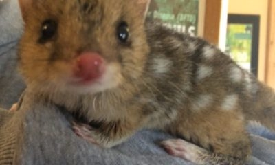 Eastern Quoll - In Situ Update - Conjour Conservation Work III