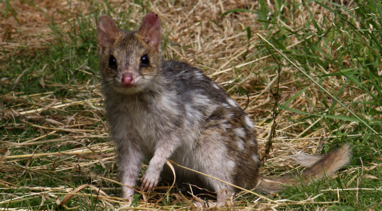 Eastern Quoll Transportation - Conjour In Situ Update - Fawn