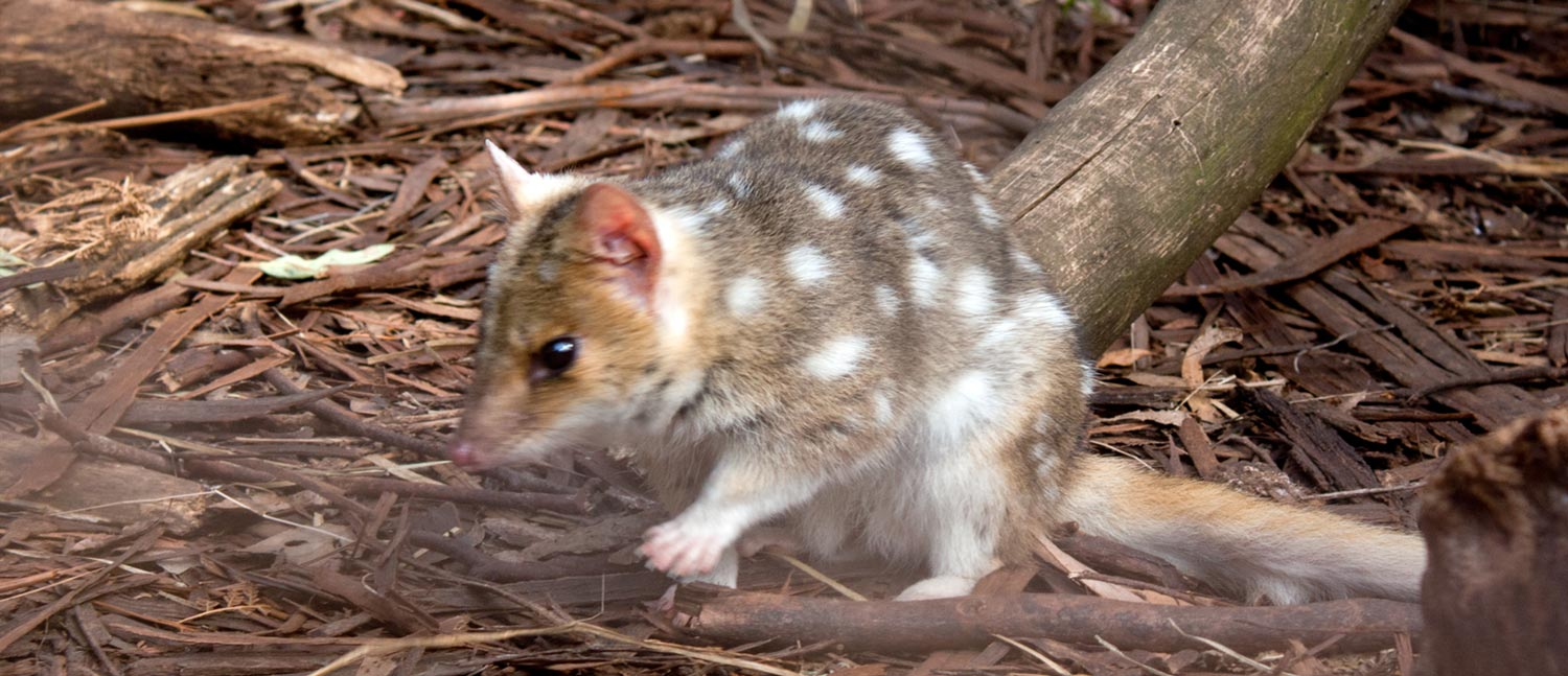 Eastern Quoll Transportation - Conjour In Situ Update - Port Arthur