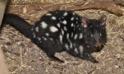 Eastern quoll reintroductions confirmed for mainland australia - Conjour In Situ Update - Rewilding Australia