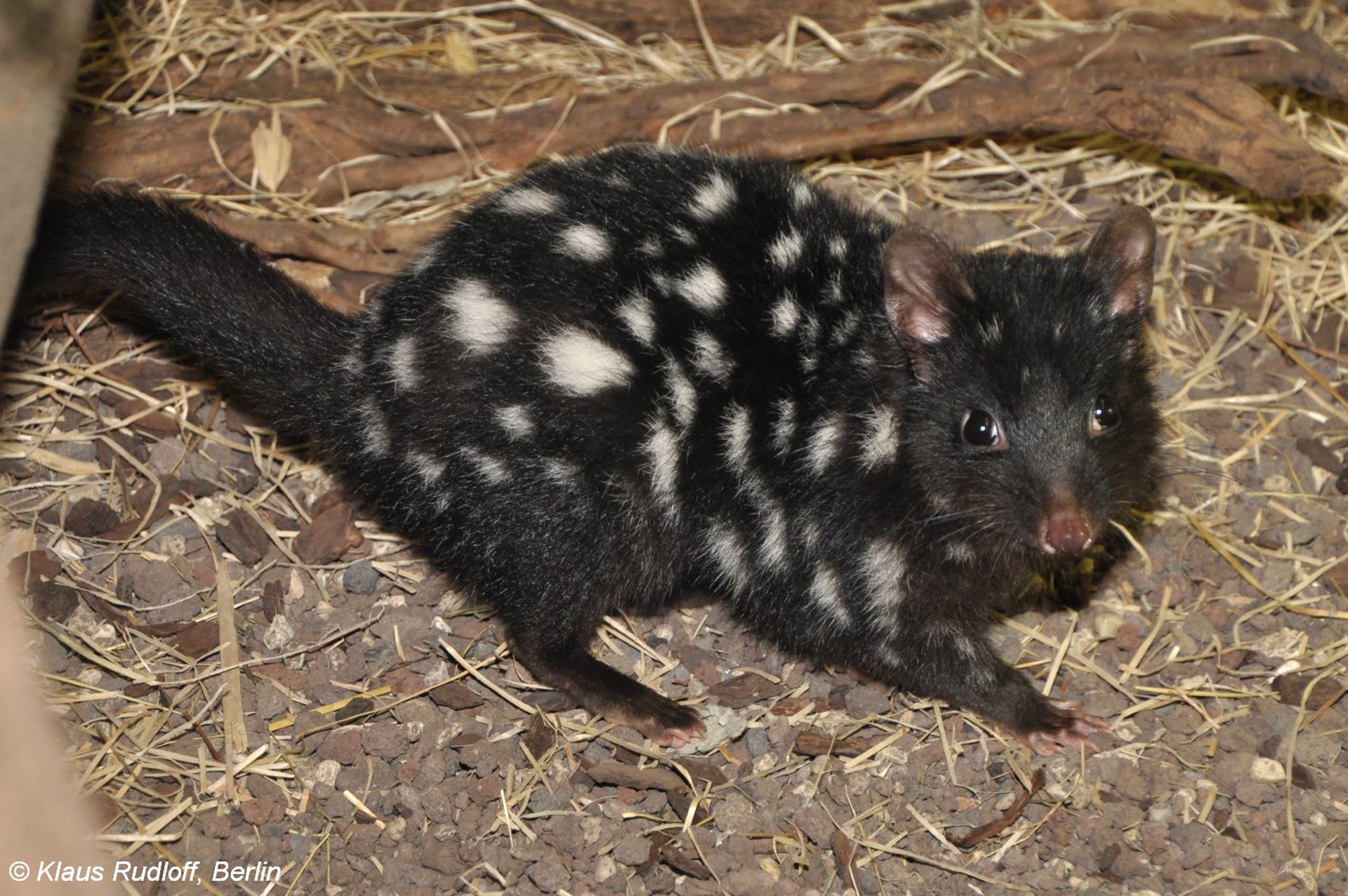 Eastern quoll reintroductions confirmed for mainland australia - Conjour In Situ Update - Rewilding Australia