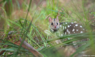 Eastern quolls are back from extinction - Eastern quoll reintroduction - Conjour In Situ Update - Feature