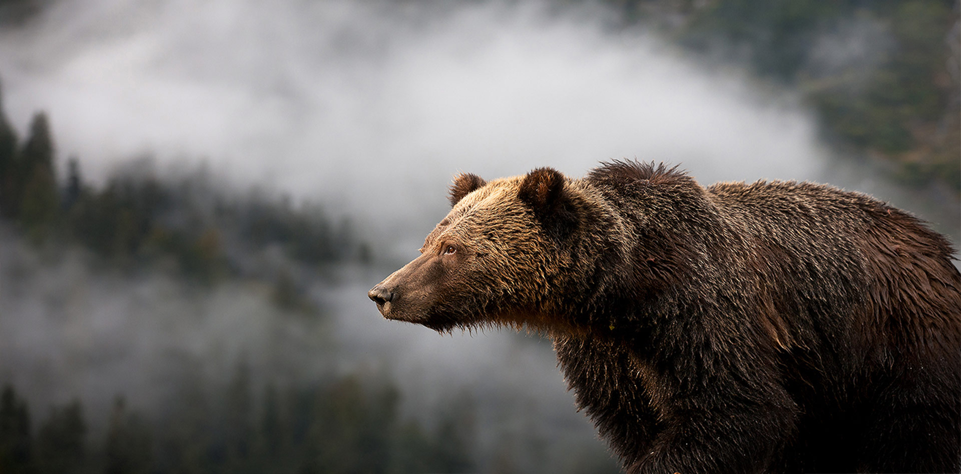 Eric Sambol - The Great Bear Rainforest - Conjour Wildlife Photography Feature - Grizzly Overlooking Mist - Feature