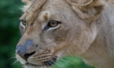 Finding Wildlife - Tessa Manning - Conjour Wildlife Photography Feature - Lioness Zambia