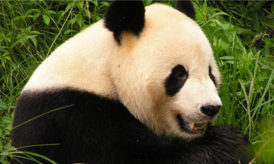 Giant Panda - Conjour Conservation Report - Giant Panda Close Up