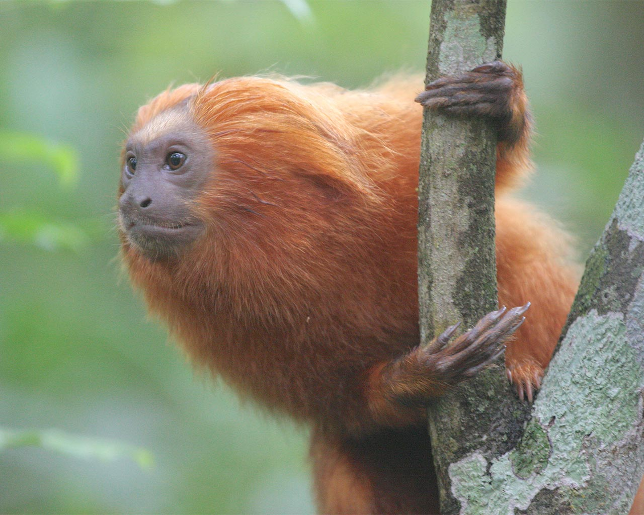 Golden lion tamarin - half earth study - conjour