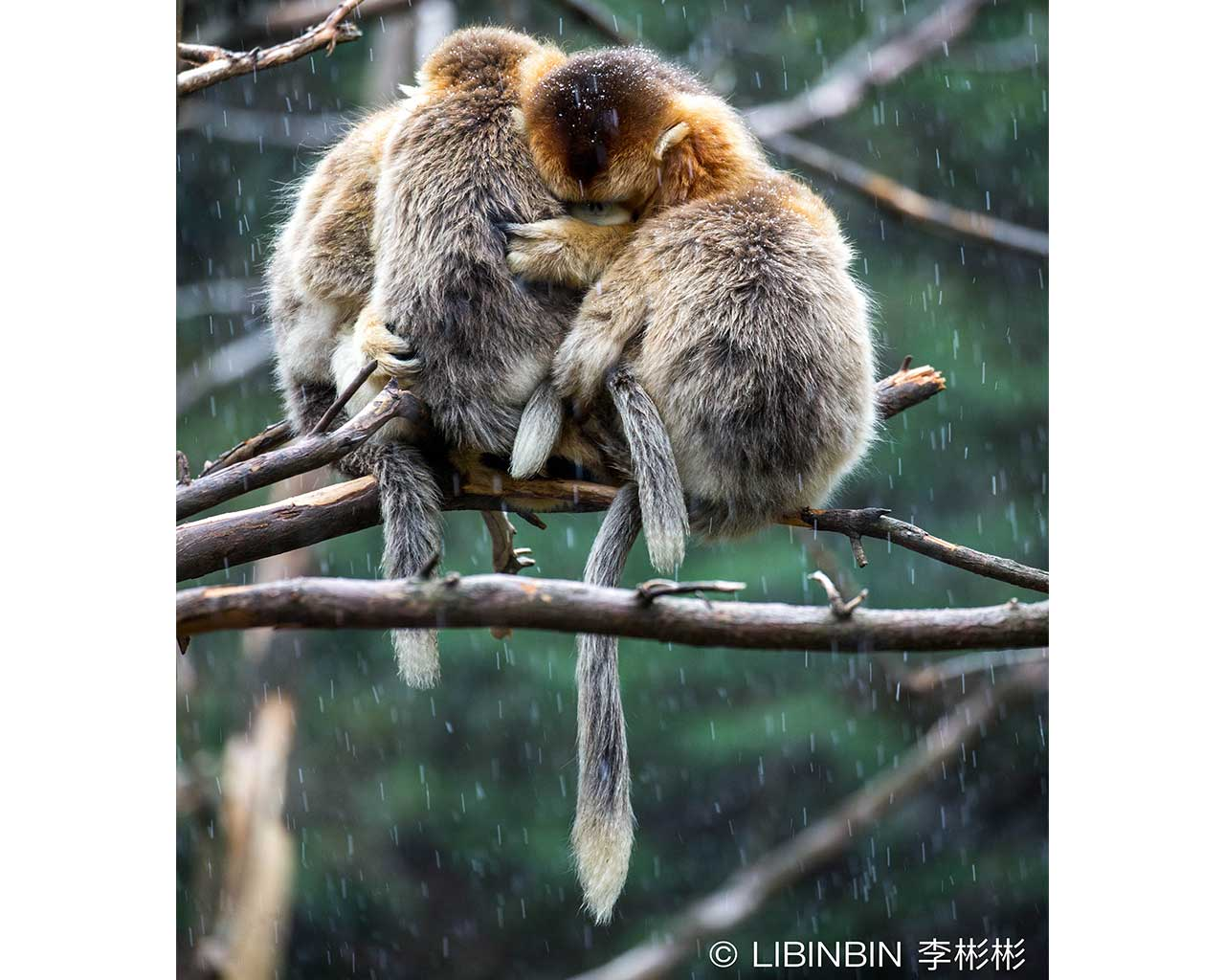 Golden snub-nosed monkeys - half earth study - conjour