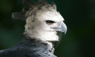 Harpy Eagle - Conjour Conservation Report - Bird of Prey - Feature Image
