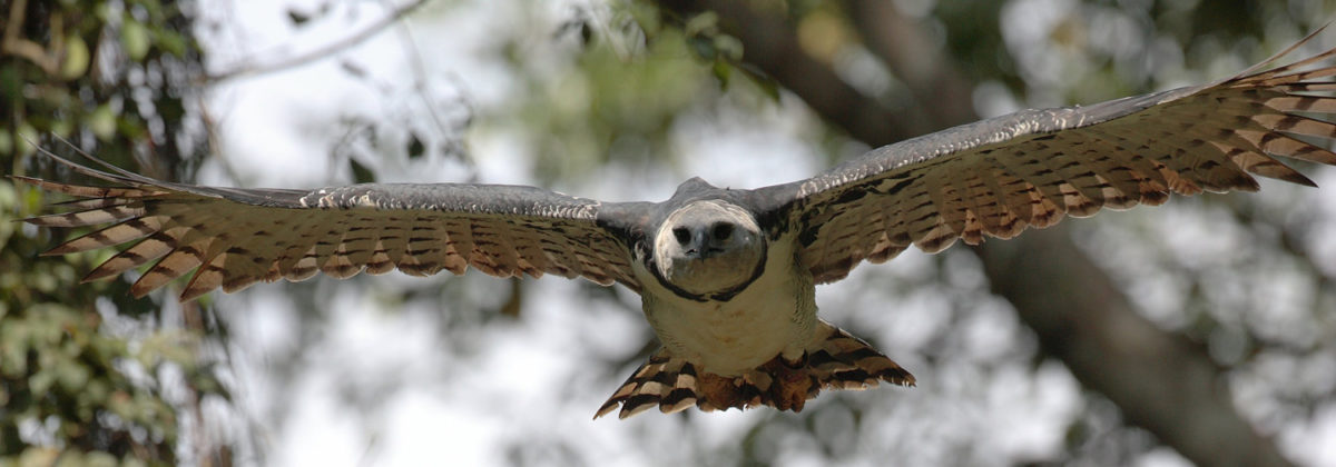 Harpy Eagle - Conjour Species Report