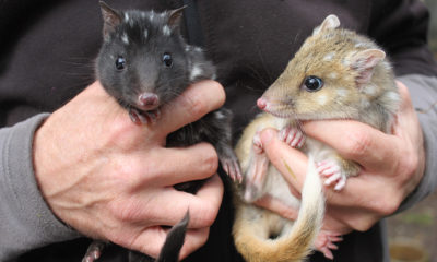 Help Bring The Eastern Quoll Home - Conjour In Situ Report - Rewilding Australia - WWF Australia - Feature Image