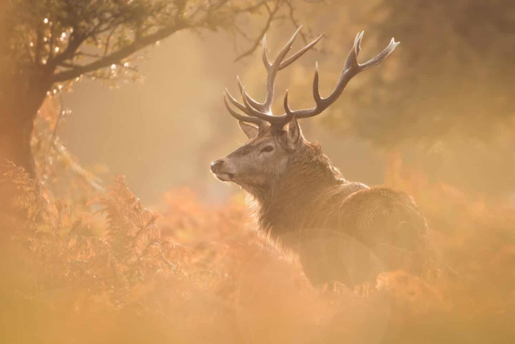 Highly Commended - Deer Stag Bushy by Becca Fulcher - The Mammal Society - Mammal Photography Competition 2020 - All Winners and Commendations - Conjour World - Animals Have Stories