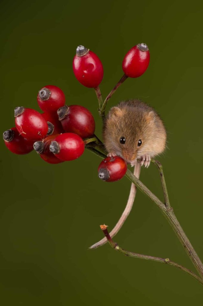 Highly Commended - Harvest Mouse Rosehip by Sarah Butcher - The Mammal Society - Mammal Photography Competition 2020 - All Winners and Commendations - Conjour World - Animals Have Stories