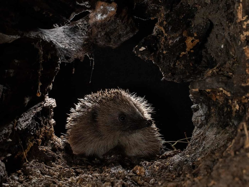 Highly Commended - Hedgehog Exploring a Log by Cate Barrow - The Mammal Society - Mammal Photography Competition 2020 - All Winners and Commendations - Conjour World - Animals Have Stories