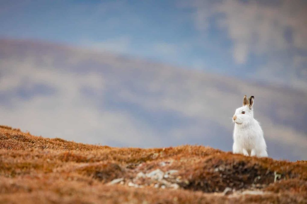 Highly Commended - Mountain Hare Cairngorms by Sorcha Lewis - The Mammal Society - Mammal Photography Competition 2020 - All Winners and Commendations - Conjour World - Animals Have Stories