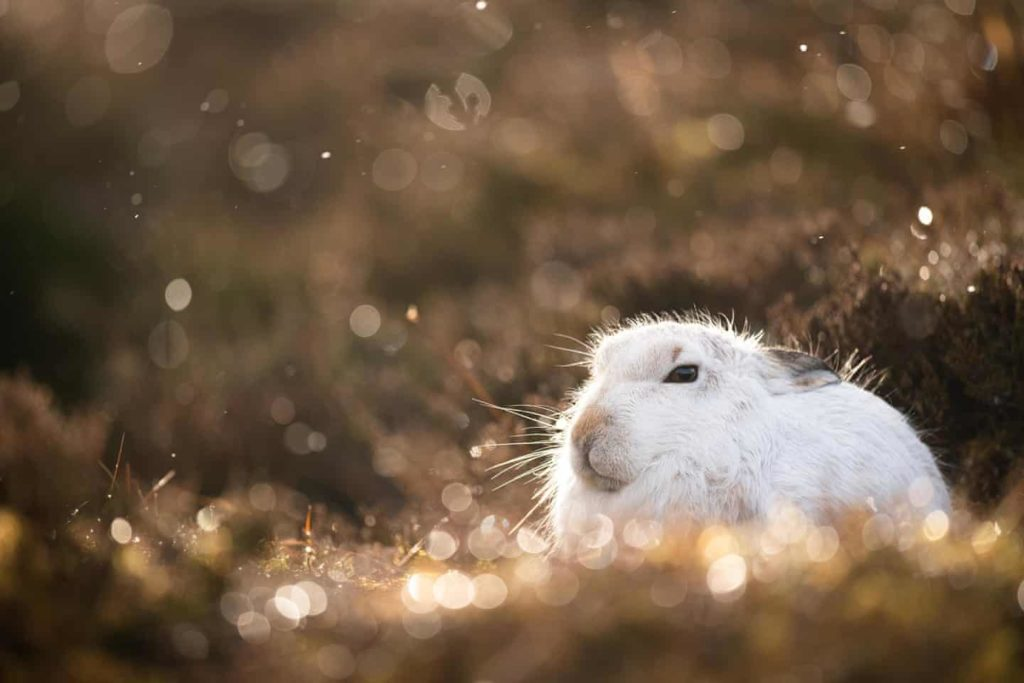 Highly Commended - Mountain Hare Golden Light by Joshua Copping - The Mammal Society - Mammal Photography Competition 2020 - All Winners and Commendations - Conjour World - Animals Have Stories