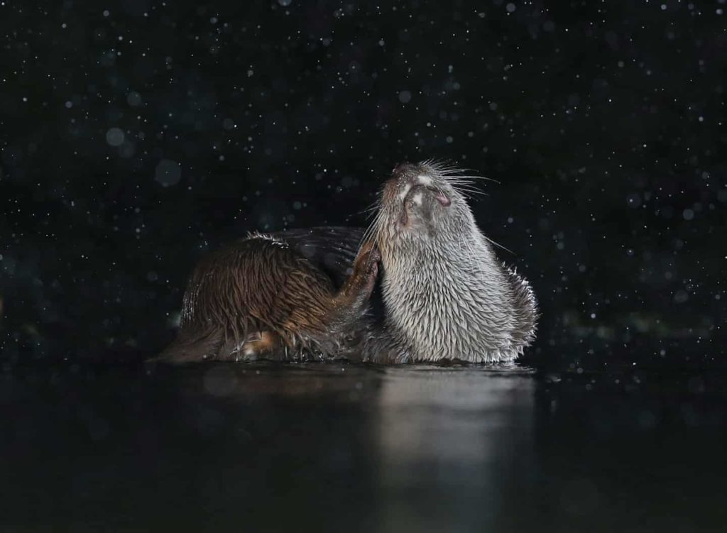 Highly Commended - Otter Scratching by Mary Wild - The Mammal Society - Mammal Photography Competition 2020 - All Winners and Commendations - Conjour World - Animals Have Stories