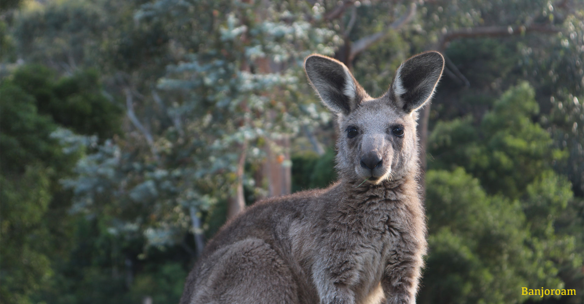How To Actually Fix Australias Conservation Crisis - Australia - Kangaroo - Conjour Editorial - Banjoroam Photography - Feature
