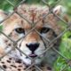 IUCN red list a call for captive breeding cheetah-behind bars