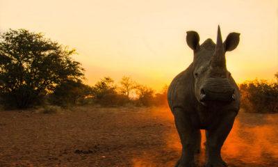 Wild Rhino Heart - Jason Savage - Wildlife Photography Feature - Conjour VI