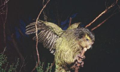 Kakapo conservation report Conjour