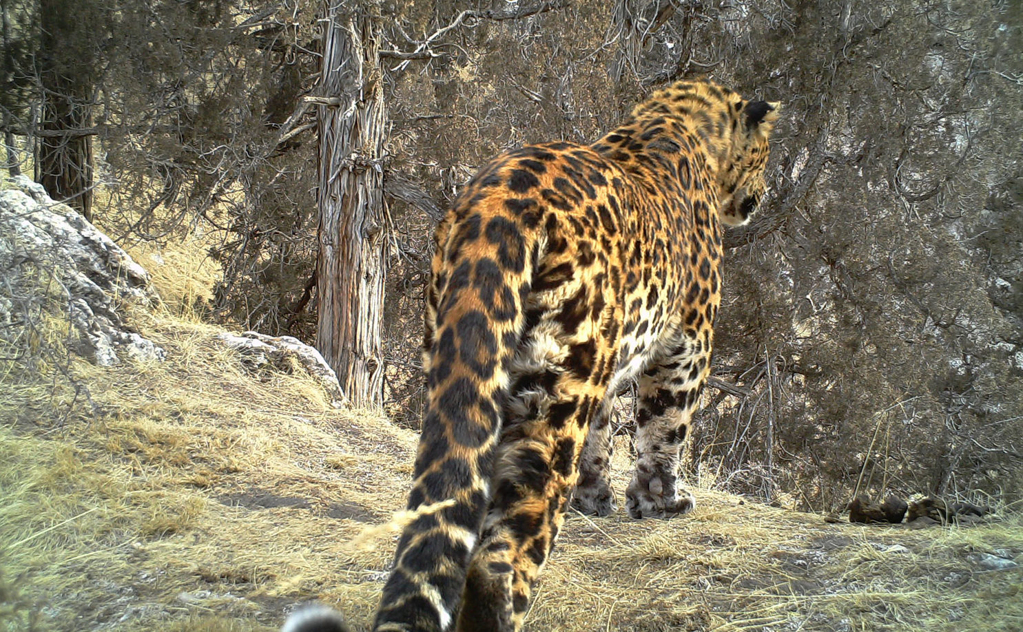 Leopard Snow Leopard Sharing Habitat - Conjour Editorial - Feature Image