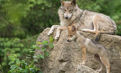 Mexican Grey Wolf Pup, Conjour, Species Profile, Mexican Wolf