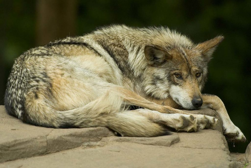 Mexican grey wolf sitting, conjour, species profile, mexican wolf