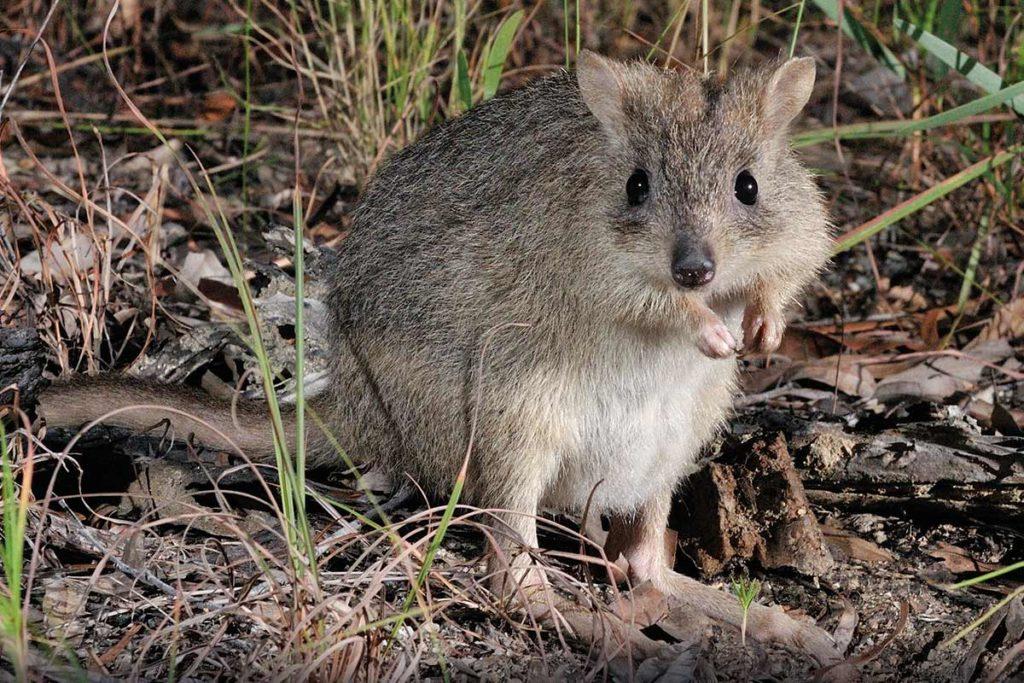 Northern bettong, Australian wildlife conservancy, ANiMOZ wildlife vote, Australian animal