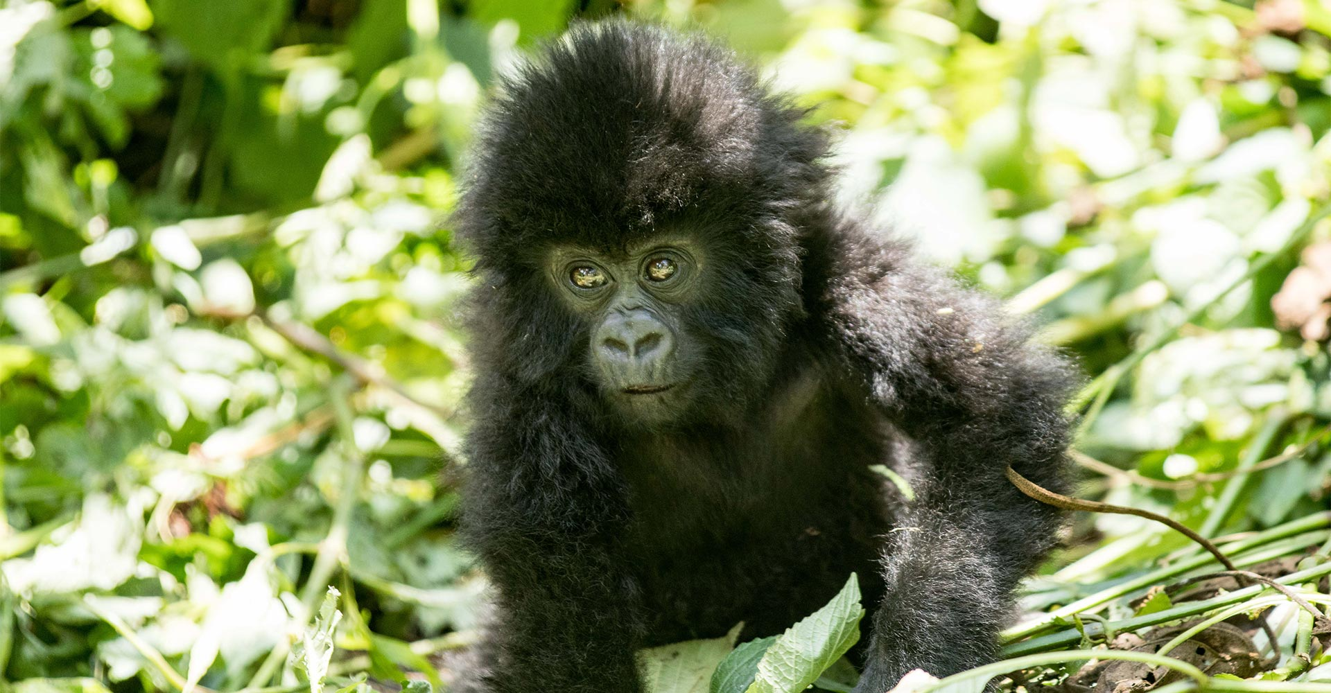 On the hunt for mountain gorillas - Alice Peretie - Conjour Wildlife Photography Feature - African Gorillas - Feature