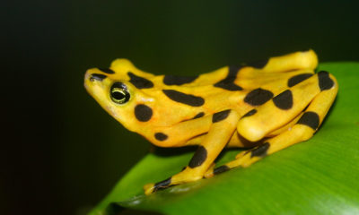 Panamanian Golden Frog - Conjour Conservation Report - Feature