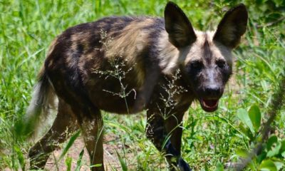 Picture Perfect - African Wild Dog Photography - Ben Leigh Photography - Conjour Wildlife Photography Feature - Feature Image