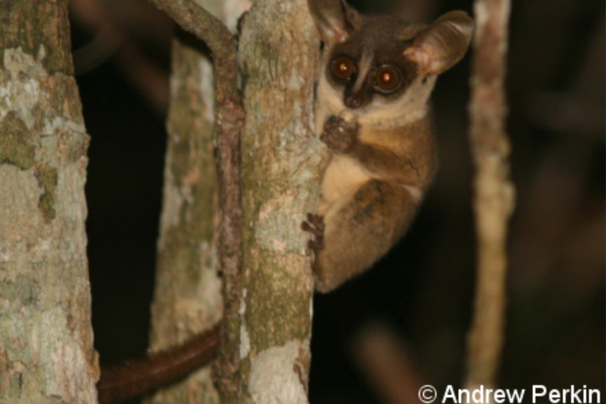 Pygmy Bush Baby - Conjour Species Report - 1