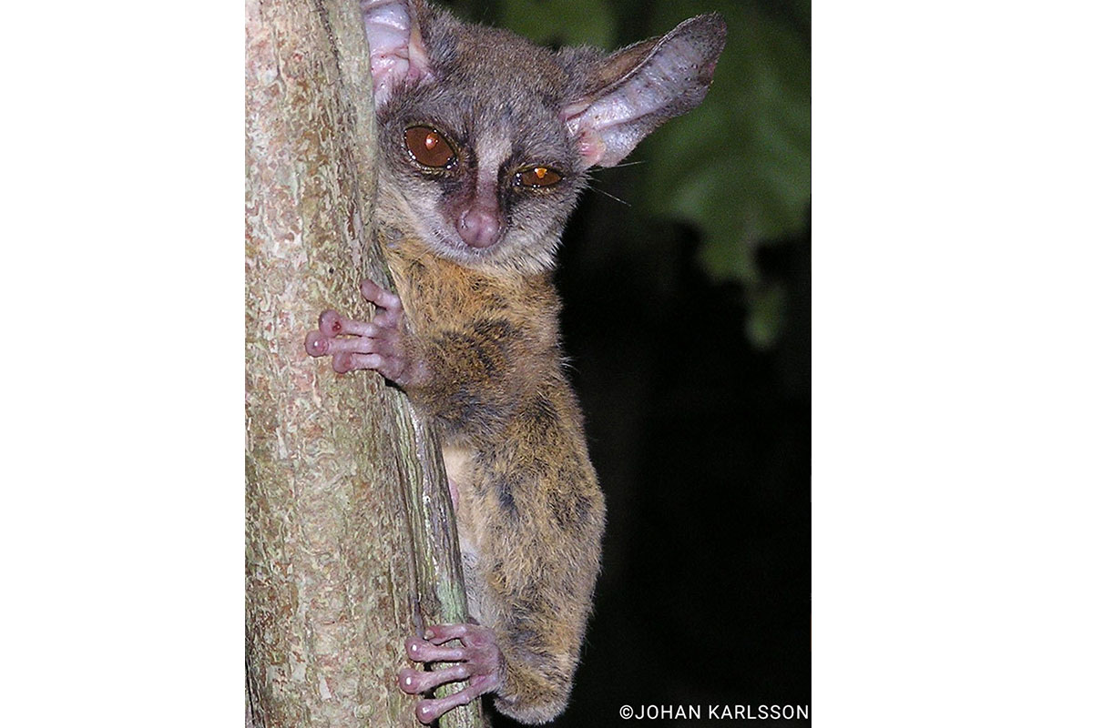 Pygmy Bush Baby - Conjour Species Report - 2