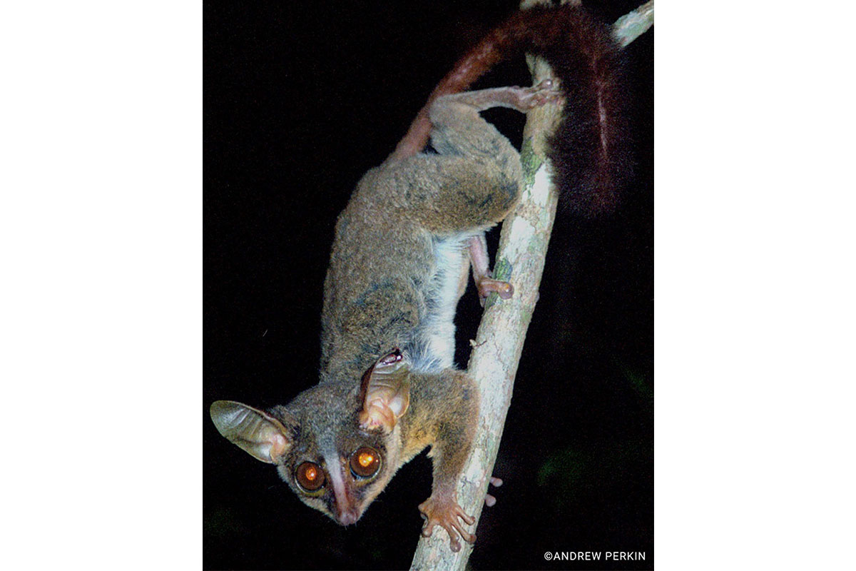 Pygmy Bush Baby - Conjour Species Report - 3